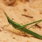 Long Headed Grasshopper