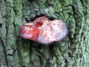 Photo: Beefsteak Fungus