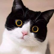 Talking American Shorthair Cat