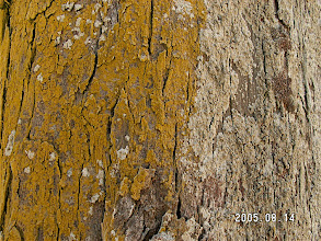 Photo: Lichen on a tree at Bellows AFB Beach.