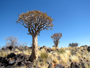 Photo: Quivertree (also known as Kokerboom)