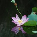 Lotus, near Batu Feringgi, Penang