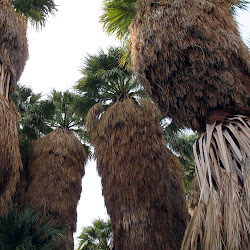 The Mortero Palms grove is very impressive. You almost expect to see a tropical beach nearby.