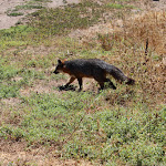 The Island Fox - seen near the campground