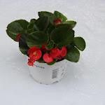 Begonia lichtbladig rood