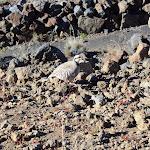 Haleakalā: Nene, a rare Hawaiian Goose