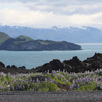 Lupins, Westman Islands, and the glaciers of the main Iceland