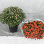 Bolchrysant rood, stadium 1 en stadium 3