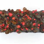 Begonia donkerbladig rood
