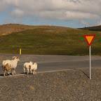 There are more sheep in Iceland than there are people (or cars)