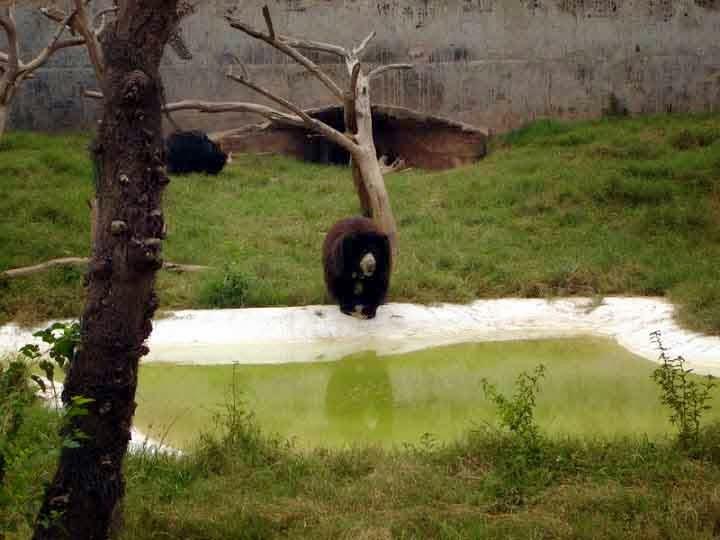 bear at Chattbir zoo Chandigarh