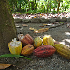 This is how cocoa grows