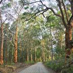 Driving through a dense Eucalypt forest