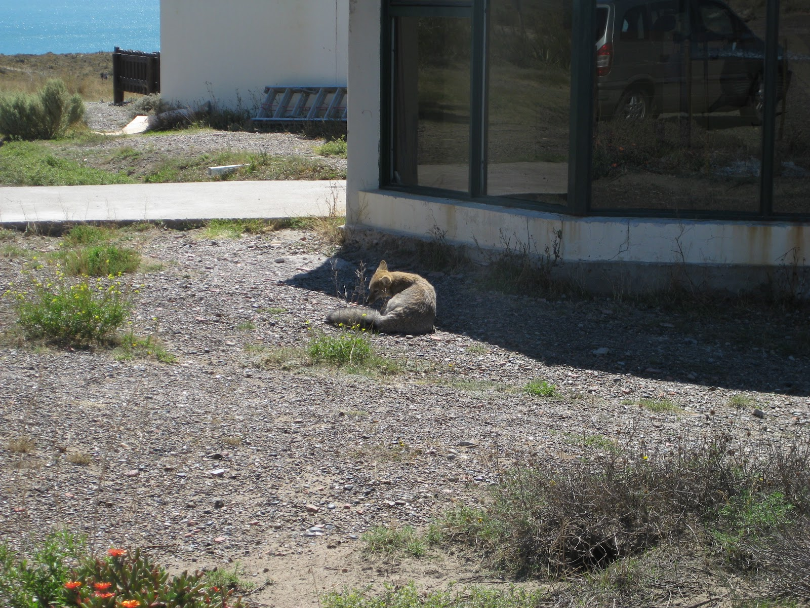Desert fox, waiting outside the parilla for a feed