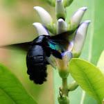 Unknown flying beetle seeking pollen in Pasir Ris