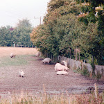 Pigs in field behind the George and Dragon, 1993