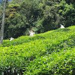 Tea plantation, Coonoor, India