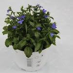 Lobelia blauw