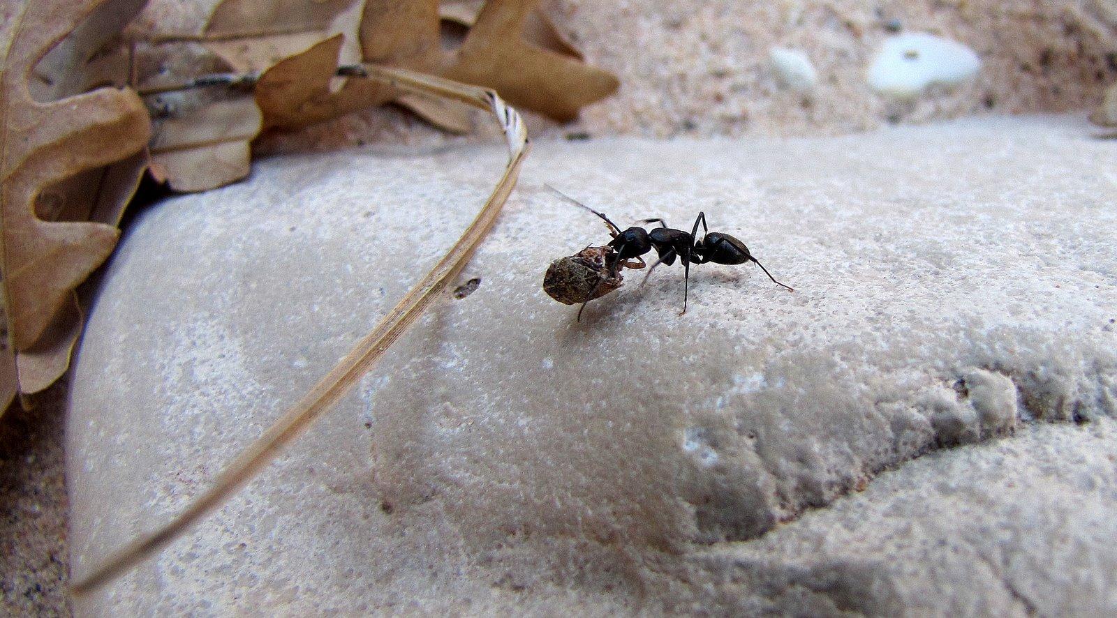 Hangya bogárral fehér kövön  Ant with bug on white stone