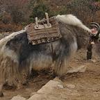 Yaks make climbing look too easy