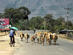 Česta slika u Indokini -- čobani(ce) na bicikima ili motorima teraju goveda