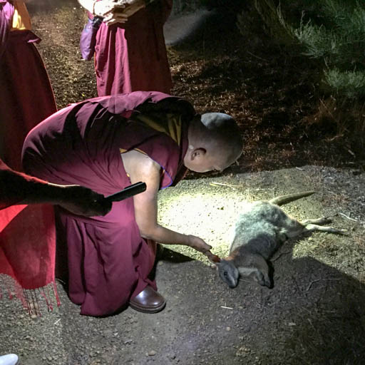 Lama Zopa Rinpoche blessing a wallaby as it is dying, Kangaroo Island, Australia, May 2015. Photo by Ven. Thubten Kunsang.