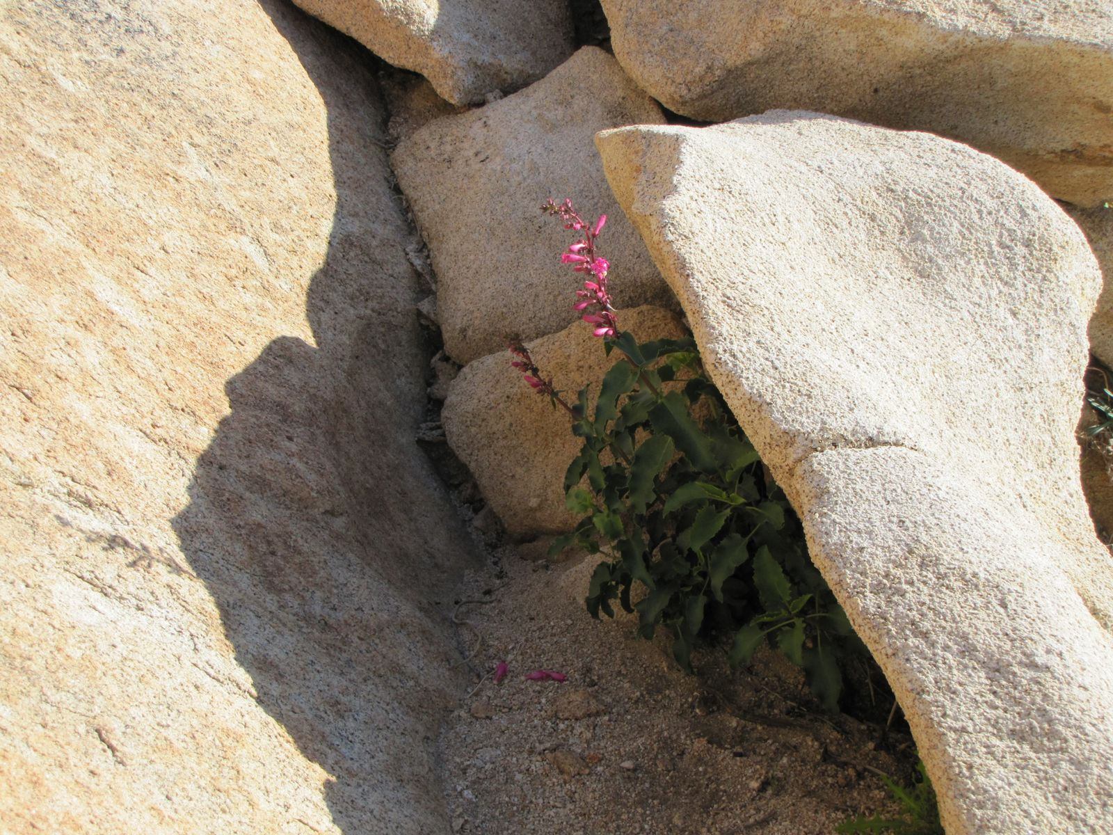 Desert Primrose blooming in the shelter of a rock