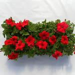 Petunia rood