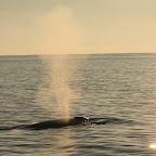 A blue whale - unfortunately these are not very sociable
