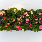 Begonia lichtbladig mix