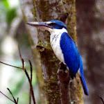Collared Kingfisher in the mangrove swamp at Pasir Ris