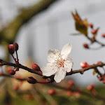 Cherry blossom, Lord Strathcona Elementary