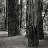 redwoods__1