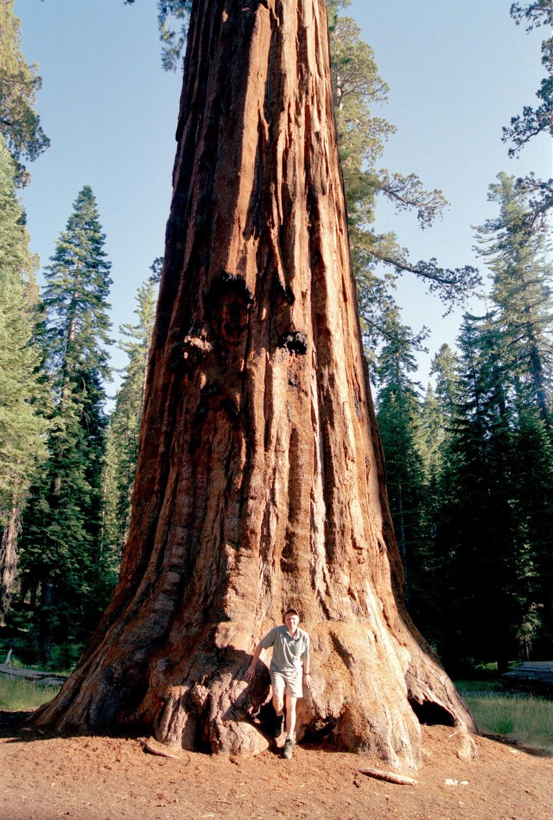 Big Redwoods