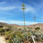 Century Plant blooming in Inner Pasture