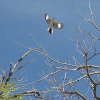 mockingbird_flying2