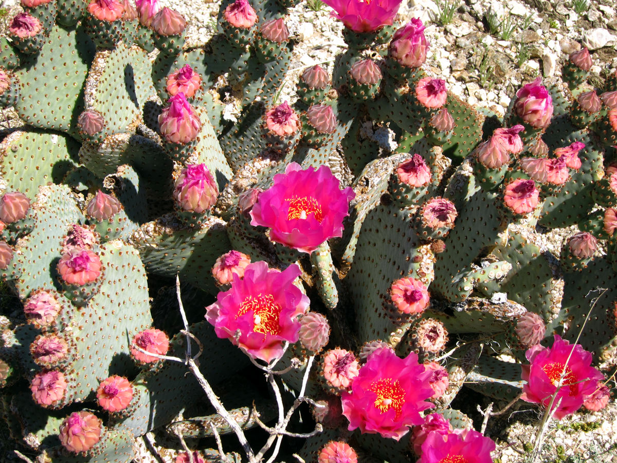 Beavertail Cactus blooms with many more to come in RockHouse Canyon