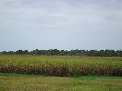 This is sugar cane country!