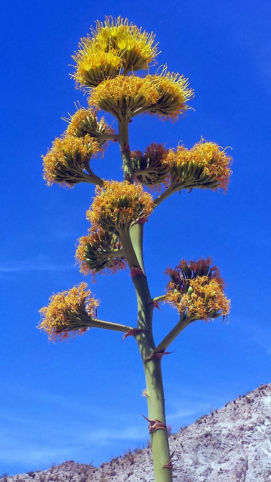 Blooming Agave or Century Plant