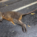 Roadkill, Australian style