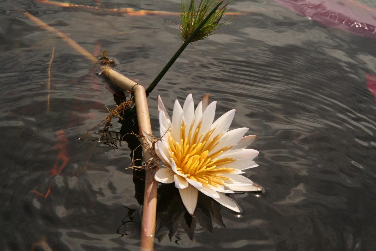 Okavango lotus