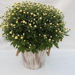 Witte bolchrysant in houten emmer old look