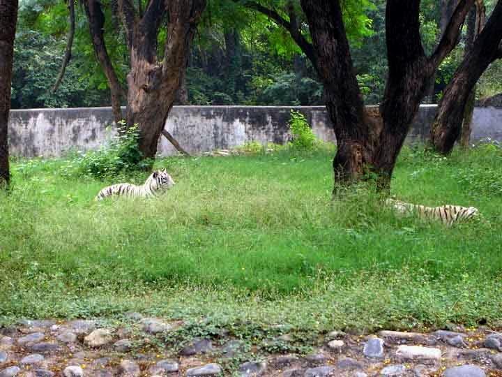 tigers at Chattbir zoo Chandigarh