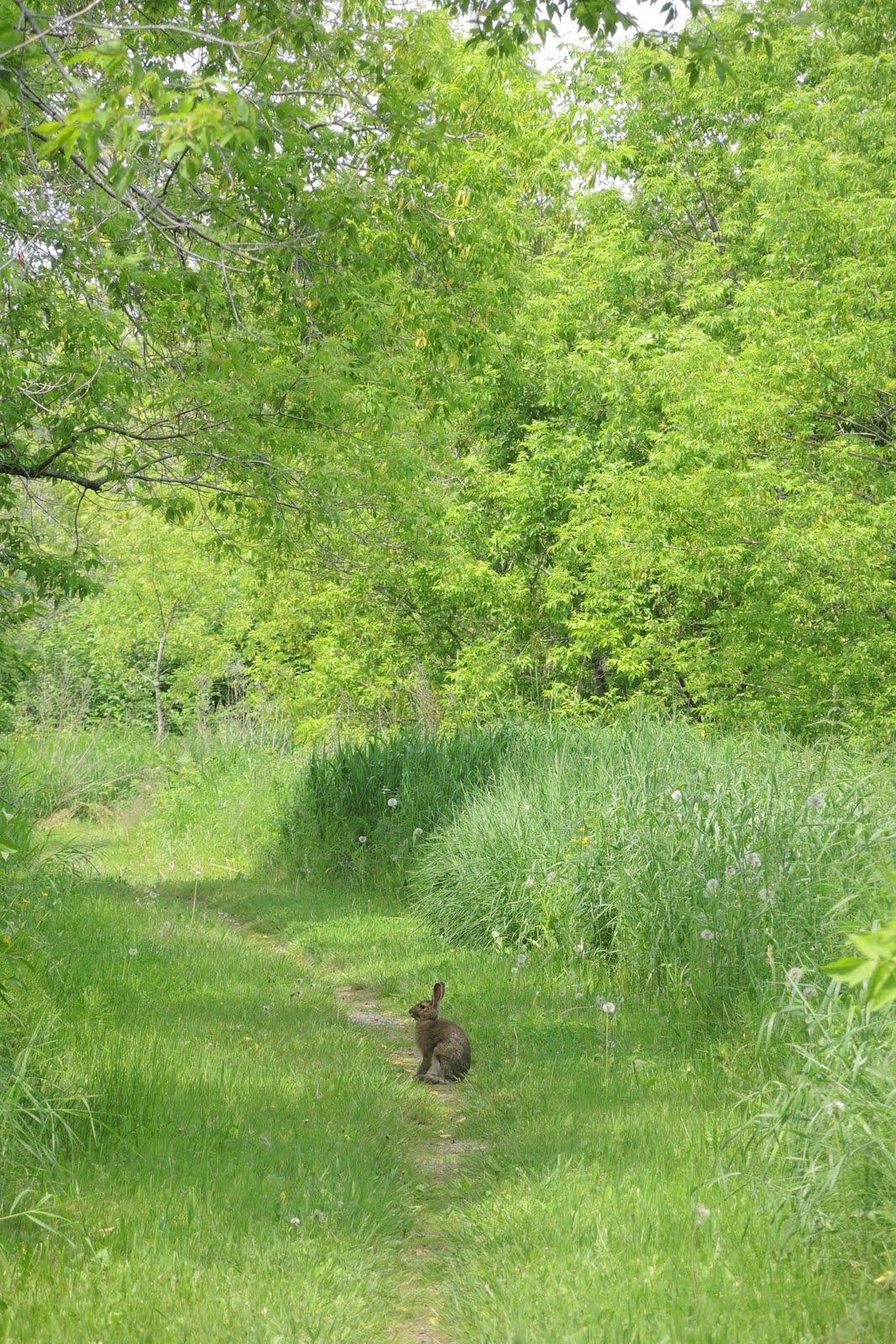 Un lapin à Saint-Gédéon