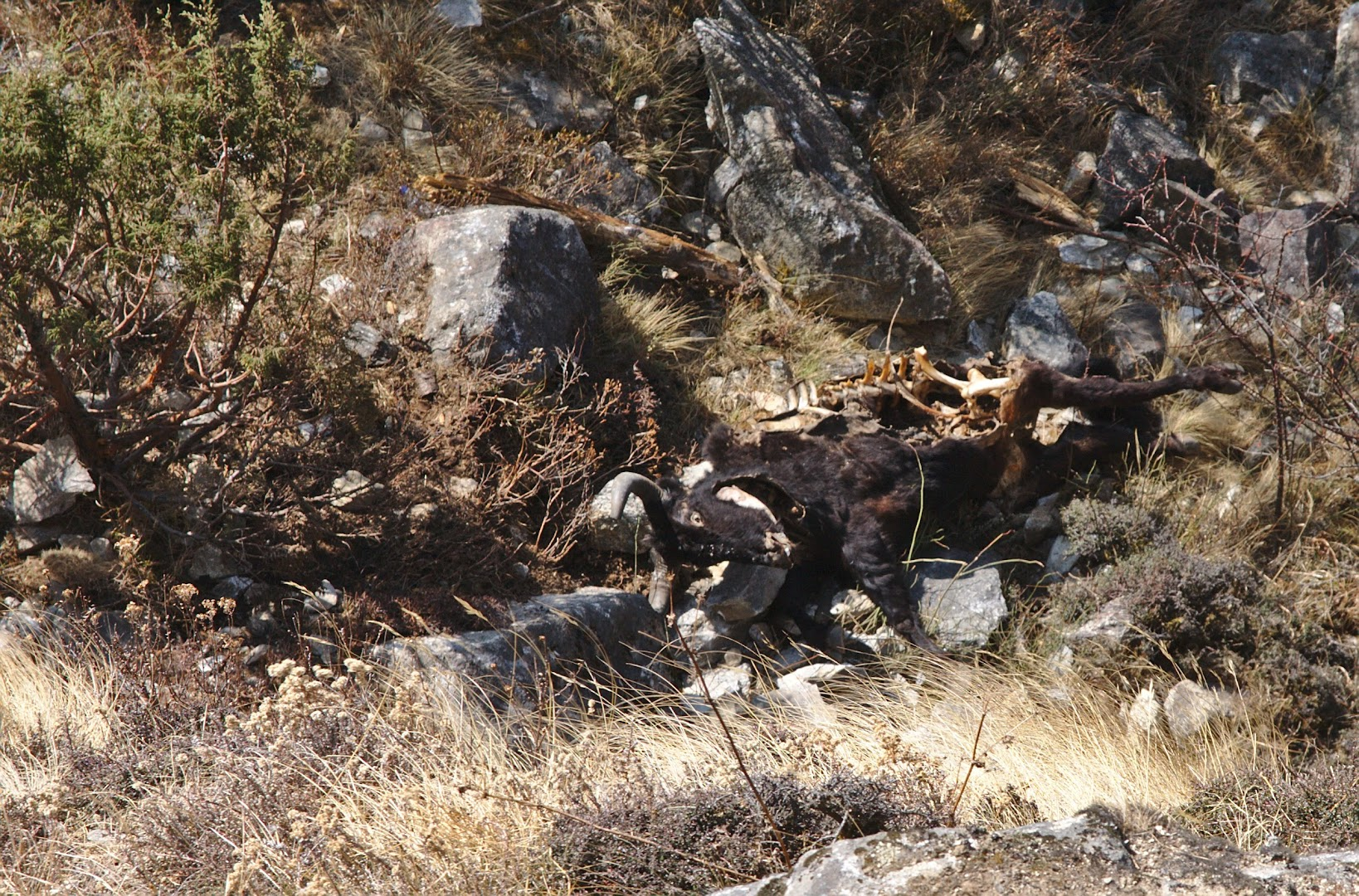 When Yaks fall down, they are just left there