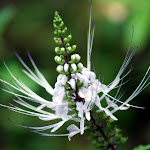 Cat's Whiskers (Orthosiphon aristatus)