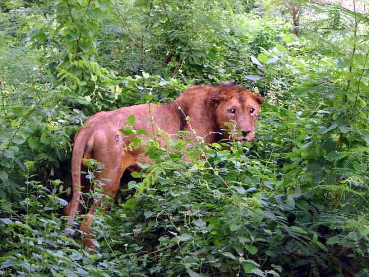 Lion at Chandigarh zoo