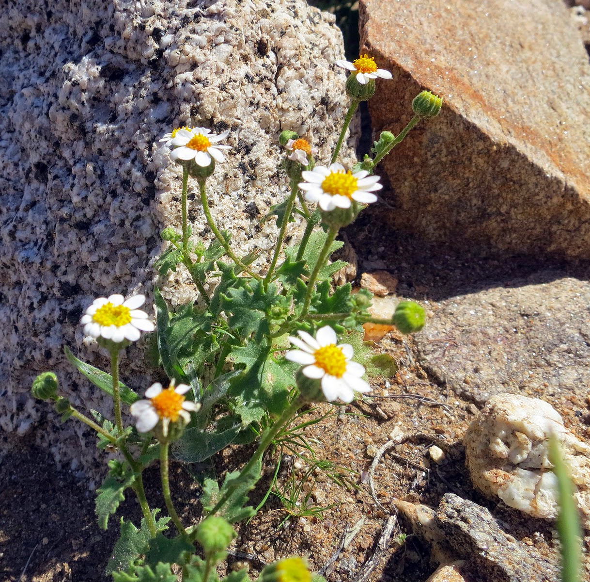 Emory's Rock-Daisy are usually hard to spot due to their small size.