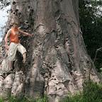 A baobab