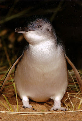 I spent the evening at the Penguin Parade where you can see the penguins coming ashore to their nests after the day at sea. Not photography was allowed so here are some scanned pics